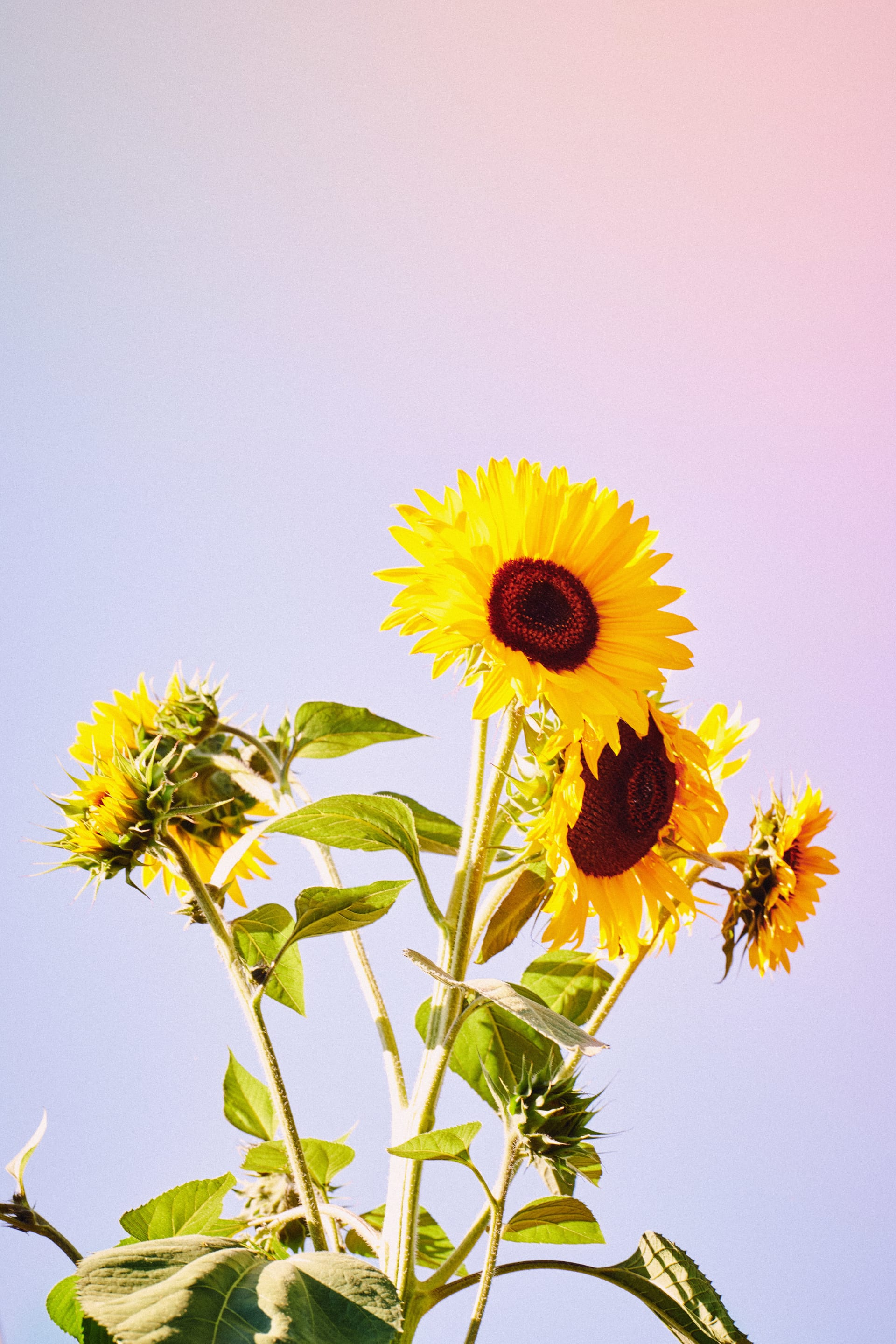 Three bright yellow sunflowers against a blue sky | Kinship