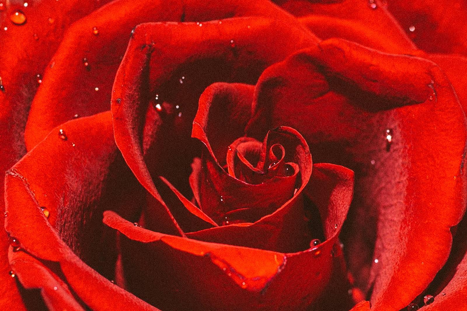 Ingredient Highlight: Rose