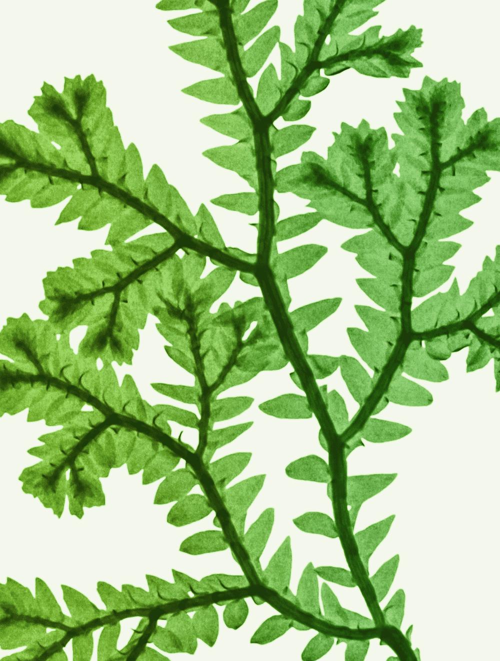 Selaginella Extract